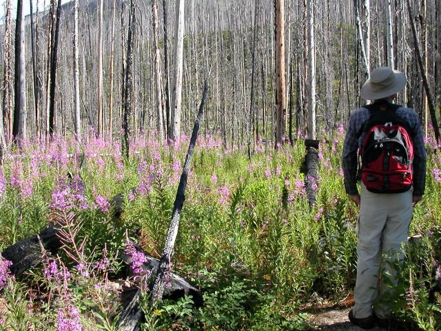Burned Forest Area, Kootenay National Park, British Columbia